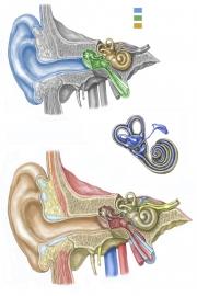 ear-inner-FINAL